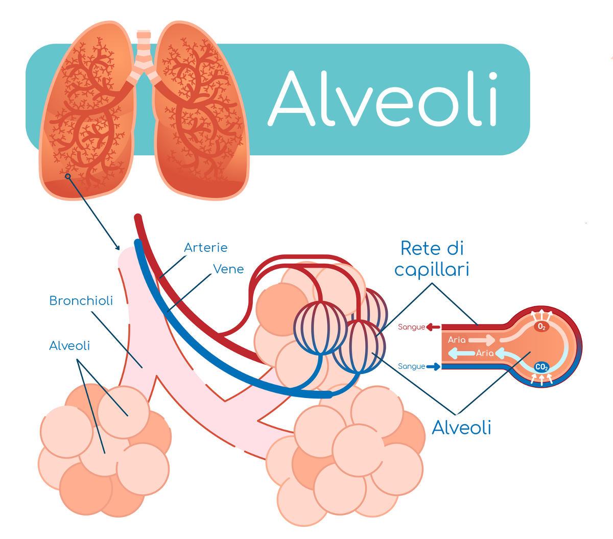 Estructura de los alvéolos pulmonares