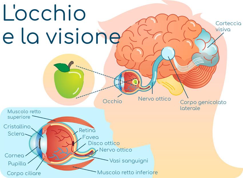 Simplificación de la anatomía del ojo y la visión.