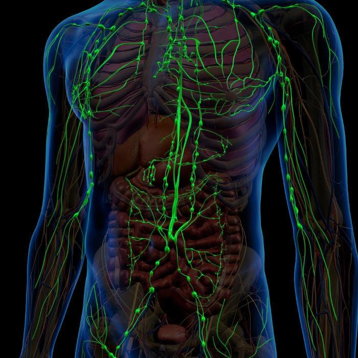Reconstrucción gráfica del sistema linfático.
